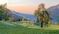 Travnik narcis na Rovtah.